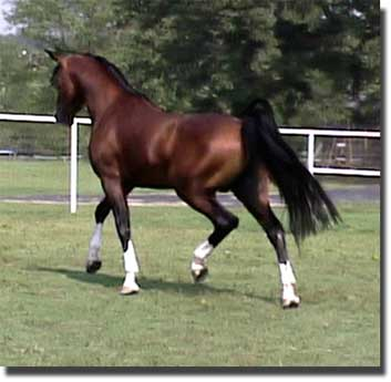 Arabian Horses For Sale, Afire Bey V and Khemosabi sons - Arabian Stallions